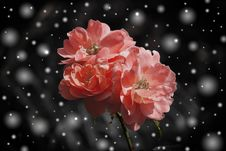 Free Pink Flowers In Winter Snow Royalty Free Stock Photos - 82962678