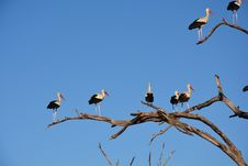 Free White And Black Long Beaked Birds On Brown Tree Branch Royalty Free Stock Photography - 82962957