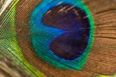 Free Blue Green Brown And Yellow Peacock Feather Royalty Free Stock Image - 82963196