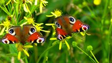 Free 2 Peacock Butterflies Perched On Yellow Flower In Close Up Photography During Daytime Royalty Free Stock Image - 82963276