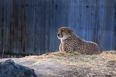 Free Cheetah In Zoo Stock Images - 82963294