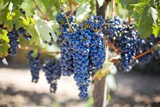 Free Grape On Sunny Vine Royalty Free Stock Photography - 82963327
