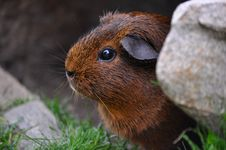 Free Brown And Black Guinea Pig Stock Photos - 82963403