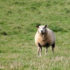 Free Sheep In Green Pasture Stock Image - 82963441