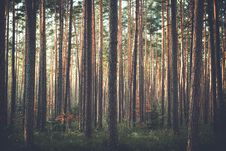 Free Pine Forest Stock Photography - 82963522