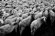Free Herd Of Sheep Stock Photos - 82963523