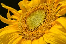 Free Yellow Flower Close Up Royalty Free Stock Photos - 82963528