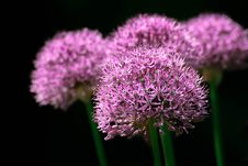 Free Pink Flowers In Bloom Stock Photos - 82963763