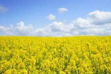 Free Yellow Flower Field Under Blue Cloudy Sky During Daytime Royalty Free Stock Photos - 82963798