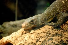 Free Monitor Lizard Stock Photography - 82963912