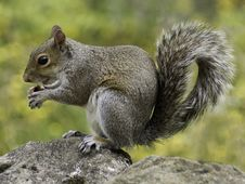 Free Photo Of Squirrel Holding Nut During Daytime Royalty Free Stock Images - 82963999
