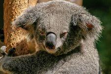 Free Koala Bear On Tree During Daytime Royalty Free Stock Photo - 82964125