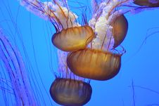 Free Jellyfish In Aquarium Stock Photography - 82964162