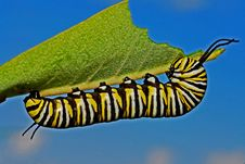Free Black Yellow And White Monarch Butterfly Caterpillar Stock Images - 82964274