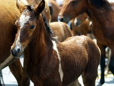 Free Brown Foal In Herd Of Horses Royalty Free Stock Photography - 82964307
