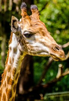 Free Portrait Of Giraffe Royalty Free Stock Photos - 82964358
