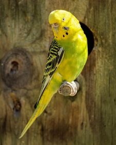 Free Yellow And Black Parakeet Stock Images - 82964414