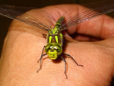 Free Green Dragonfly On Person Hand Royalty Free Stock Photography - 82964427