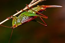 Free Red And Green Grasshopper Royalty Free Stock Images - 82964429