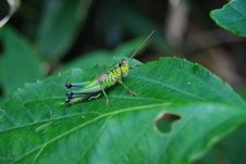 Free Grasshopper On Green Leaf Stock Photo - 82964480