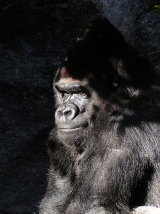 Free Black Gorilla Closed Up Photography Stock Photo - 82964550