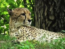 Free Adult Cheetah In Grass Royalty Free Stock Images - 82964619