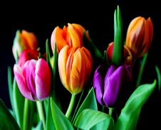 Free Yellow Pink And Violet Tulips Stock Image - 82964641