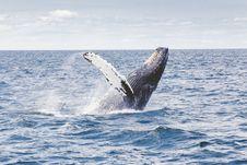Free Humpback Whale Breaching Stock Image - 82964661