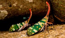 Free Two Green Yellow Orange Insect Royalty Free Stock Photo - 82964685