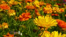 Free Flower Field Royalty Free Stock Photography - 82964687