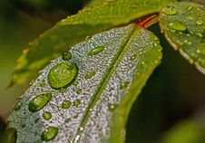 Free Water Droplets On Green Leaf Stock Photography - 82964742