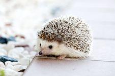 Free Hedgehog On Walkway Stock Photo - 82964860