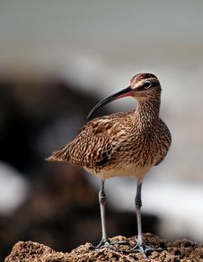 Free Whimbrel Bird In Senegal Royalty Free Stock Image - 82964936