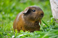 Free Guinea Pig In Grasses Stock Image - 82964981