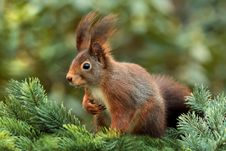 Free Squirrel In Tree Stock Photos - 82964983