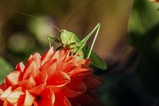 Free Green Grasshopper On Red Flower During Daytime Stock Photography - 82965092
