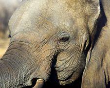 Free Elephant Face Royalty Free Stock Image - 82965316