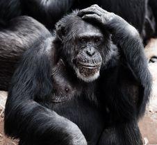 Free Black Ape Stock Photos - 82965543