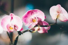 Free Close-Up Photography Of A Pink And White Moth Orchid Stock Images - 82966444