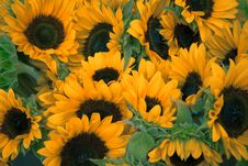 Free Sunflowers In A Group Royalty Free Stock Photos - 82966688