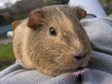Free Brown And Black Genie Pig In Gray Textile Stock Images - 82967044