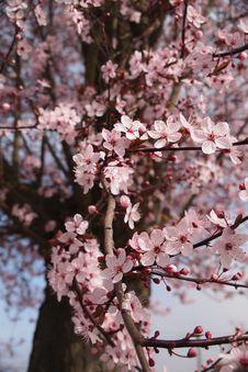 Free Cherry Blossom Tree Stock Photos - 82967153