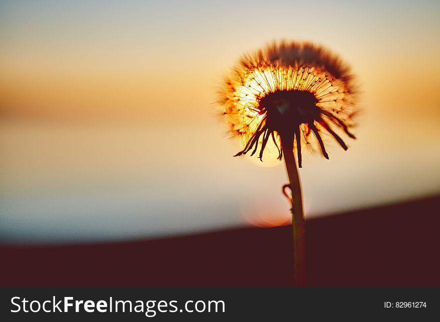 Dandelion head against setting sun.