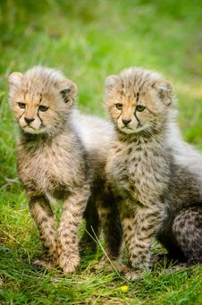 Free 2 Yellow And Black Cheetah Sitting Together Stock Photography - 82973512