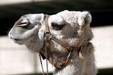 Free Close Up Photo Of Gray Camel Royalty Free Stock Photos - 82973948