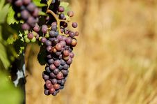 Free Shallow Focus Photography Of Purple Grapes Royalty Free Stock Photos - 82974008