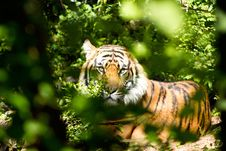 Free Tiger Through Green Leaves During Day Royalty Free Stock Images - 82974439
