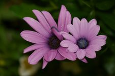 Free 2 Purple Petaled Flower In Selective Focus Photography Royalty Free Stock Image - 82975316