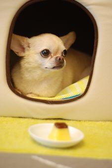 Free Small Chihuahua Dog Stock Image - 82976031