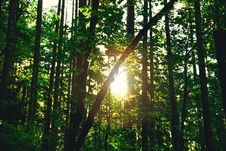 Free Silhouette Of Tree Trunks With Reflection Of Sun During Daytime Royalty Free Stock Photo - 82976065